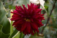 Otra flor roja. En El Hierro.