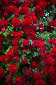 Image of 'Detail of roses bush as floral background'