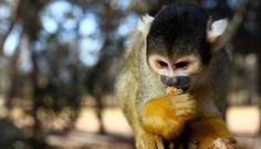 We are inviting you to visit Monkey Town with your learners for an educational outing and to take part in our special education programme. Somerset West, Adventure Activities, Seaside Towns, Picnic Area, Koi Ponds, Lemurs, Cape Town, South Africa, Monkey