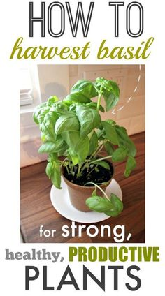 How to Harvest Basil for Strong and Productive Plants! | The Creek Line House #HerbGarden #GrowingHerbs #Basil