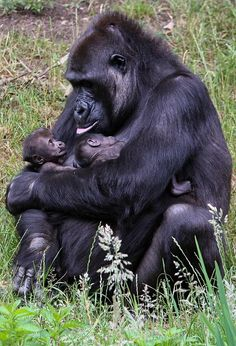 Twin gorillas on the arms of their mother !