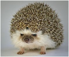Hedgehog ♥ Siili