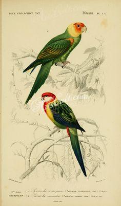 Carolina Parakeet, Eastern Rosella      ...