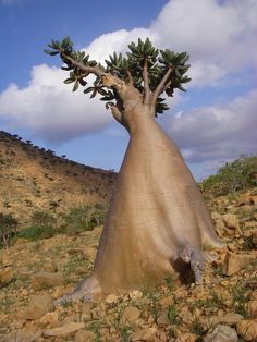 Tree on the island of Socotra, a UNESCO-certified World Natural Heritage Site and boasts three geographical terrains: coastal plains; a limestone plateau with caves; and the Haghier Mountains.