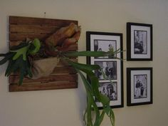 Staghorn Ferns.  Hmm...one on the fence in the backyard?  Or on the garden fence??