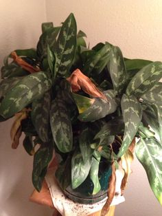 Chinese Evergreen Sparkling Sarah Tropical houseplant
