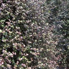 Lophomyrtus obcordata - NZ Myrtle   Southern Woods Wood Nursery, Plant Nursery, Tall Shrubs, Hedging Plants, How To Attract Birds, Landscaping Design, Small Trees, Myrtle, Hedges