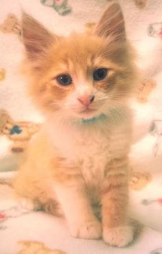 Meet Nutmeg 22431, a Petfinder adoptable Domestic Long Hair Cat   Prattville, AL   Nutmeg is a 9-week old, orange and white, long-haired, male kitten.Dogs and puppies may be adopted...