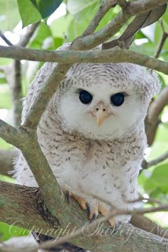 Barred eagle owl chick