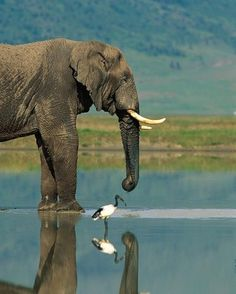 "Elephant with Sacred Ibis. See Over 2500 more animal pictures on my Facebook ""Animals Are Awesome"" page. animals wildlife pictures nature fish birds photography cute beautiful"
