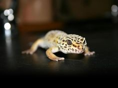 My Free Wallpapers - Nature Wallpaper : Leopard Gecko