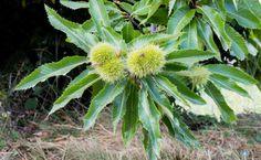 Las hojas de castaño se toman en infusión como expectorante y para cortar la diarrea.