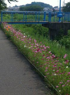秋田市コスモスロードは、コスモス咲き始めました( ´ ▽ ` )ノ  #jidori0825 #秋田  |しんちえの投稿画像