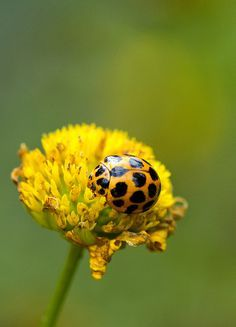 Yellow ladybug on yellow flower