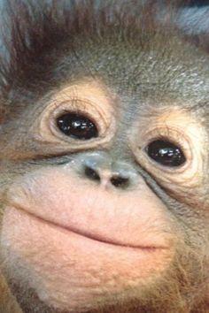 One happy orangutan. Happy Animals, Nature Animals, Animals And Pets, Funny Animals, Cute Animals, Monkey See Monkey Do, Cute Baby Monkey, Beautiful Creatures, Animals Beautiful