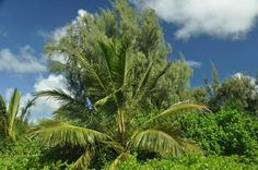 Coconut tree, kailua beach Park....
