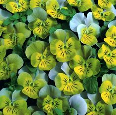 Minipensé 'Miniola HeartGold' (Viola x hybrida) is a very small floral violet with heart-shaped, unusual olive green flowers with yellow center. Very different!