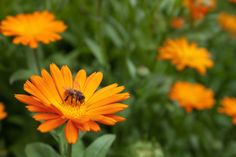 Calendula (C. officinalis)  Common Uses  Used externally on skin abrasions, minor burns, and wounds. Used internally for minor digestive irritation. Flowers are edible and can be used to liven up the look of a green salad, for instance.