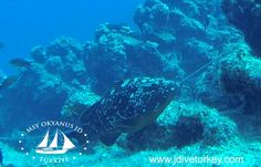Orfoz-grouper Underwater, Whale, Animals, Animais, Animales, Animaux, Under The Water, Whales, Animal