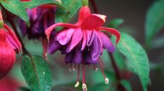 """Fusias:  Fuchsias thrive in cooler climates.  Fuchsias are among the world's favourite plants and have been a feature in our Victorian gardens for years. But, asks Melbourne gardener Christine Berry, has climate change put paid to growing fuchsias?  """"I am beginning to think I can no longer grow fuchsias in Melbourne,"""" she writes. """"I have lost several this summer and the few that remain are struggling.""""  As well as dealing with the heatwaves of January, Christine is concerned about their need…"""
