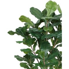 Silk Fiddle Leaf Trees Silk Fiddle Leaf Floor Plants ❤ liked on Polyvore featuring home, home decor, floral decor, plants, foliage, silk trees, faux fig tree, green home decor, artificial fig tree and fig tree