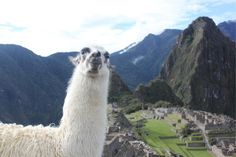 llama machu picchu peru -  llama machu picchu peru free stock photo Dimensions:2509 x 1673 Size:0.59 MB  - http://www.welovesolo.com/llama-machu-picchu-peru/