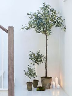 We are so excited by these  incredibly life-like extra large olive trees, they are almost indistinguishable from their Mediterranean counterparts thanks to pretty grey-green foliage.
