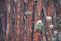 you can download this picture from https://www.shutterstock.com/pic-538793515/stock-photo-tree-bark-covered-with-moss-and-snow-background.html?src=ZKMWGE4ZGjkjckGifYvpgw-1-33 https://ru.fotolia.com/id/130811197