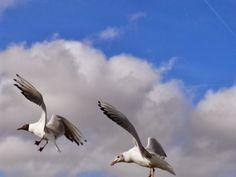 Nature from my window: Mouettes en vol (Gulls in flight)