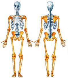 Anatomía Humana: OSTEOLOGIA. Generalidades. Esqueleto axil. Huesos del Cráneo