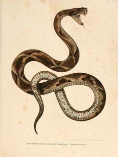 Jararaca (Bothrops jararaca) from Bilder-Atlas zur wissenschaftlich-populären Naturgeschichte der Wirbelthiere Wien :K.K. Hof-und Staatsdruckerei,1867. (via: Biodiversity Library)