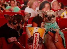 Chihuahuas at the movies.