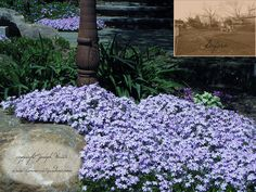 """The Creeping Phlox 'Emerald Blue"""" is in full bloom, creeping over and softening the edge of the boulder. Daylily and Vinca minor are in the background. Phlox subulata is also known as Creeping Phlox, Flowering Moss, Moss Phlox, Ground Pink, Moss Pinks. I often use it as an edging plant or for planting in cracks and walls or as a early spring accent or to soften various visual transitions be it hardscape or where to plants groupings meet. I sometimes blend it with other groundcovers such as…"""