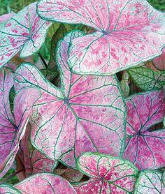 caladium  pink illusion