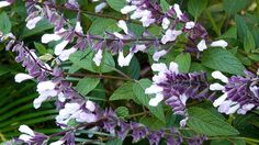 Salvia waverly - Google Search