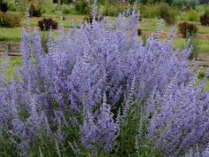 Learn the how, when and why behind pruning Russian sage