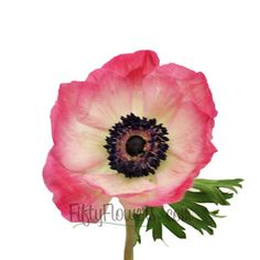 FiftyFlowers.com - Pink Anemone Flower May to September Delivery