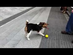 Clever dog plays fetch with himself - http://www.doggietalent.com/posts/clever-dog-plays-fetch-with-himself/