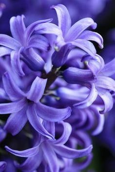 "fioritura: ""Purple Hyacinth by Types Of Flowers, My Flower, Pretty Flowers, Purple Flowers, Spring Flowers, Flower Art, Beautiful Flowers Garden, Exotic Flowers, Beautiful Gardens"