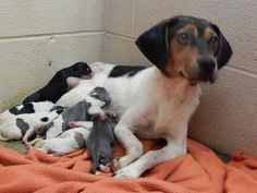 ((( URGENT !!!)) PLEASE RESCUE PENNY & HER ADORABLE BABY BEAGLE PUPPIES! At local shelter in PIKEVILLE, KENTUCKY…(not a good place to be for a sweet mother and her newborn babies. PLS help share/rescue before they get sick or are euthanized. https://www.petfinder.com/petdetail/29537029/