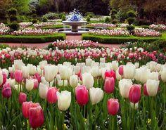 Beautiful tulip garden