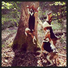 Walker Coonhounds treeing.