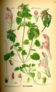 Lamium purpureum L. (Red Nettle) Otto Wilhelm Thomé: Flora von Deutschland, Österreich und der Schweiz (1885) - Permission granted to use un...