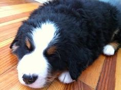 My other Bernese mountain dog 5 years ago #dogs #pets #dog #Adopt #love #cute #animals #puppy