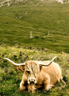 Highland Cow. Scotland photography. Cow by TheCozyOwlsNest on Etsy, $24.00