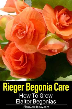 Rieger Begonia aka Elatior Begonia, easy care, bushy, flowering begonia hybrid with bright, colorful rosettes created in {GROWING & CARE DETAILS] Indoor Flowers, Indoor Plants, Growing Flowers, Planting Flowers, Flower Gardening, Flowers Garden, Cut Flowers, Vegetable Garden Planning, Plant Needs