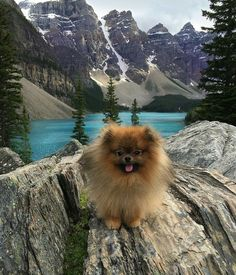 This looks like Banff National Park, Canadian Rockies. - Pomeranian in the great outdoors Spitz Pomeranian, Pomeranian Facts, Pomeranians, Pomeranian Haircut, Cute Puppies, Cute Dogs, Dogs And Puppies, Doggies, Pets