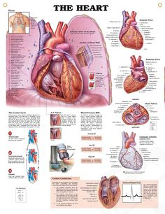 The Heart anatomy poster features cutaways of interior structures of the anterior view of heart sitting on diaphragm.