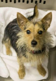 Meet Pinoccio, a Petfinder adoptable Yorkshire Terrier Yorkie Dog | Boca Raton, FL | Pinoccio is an almost 1 year old Yorkie Mix. He is a 7.5 pound male that would make for a perfect...
