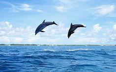 Dolphin HD Wallpapers and Backgrounds Pictures Of Dolphins Wallpapers Wallpapers) Dolphin Hd, Bottlenose Dolphin, Fauna Marina, Sea Activities, Baby Dolphins, Sailing Trips, Sea Creatures, Pet Birds, Animals Beautiful